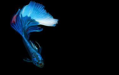 "betta fish, fighting fish , siamese fighting fish. ""Half moon"" isolated on black background"