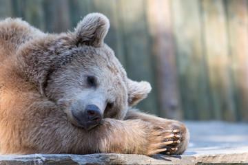 Tired sleeping relaxing brown bear in zoo