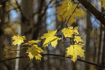 Yellow maple leaves of autumn forest