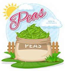 Ripe Peas in burlap sack. Full sacks with fresh vegetables. Bag with harvest on the summer garden