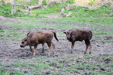 Young European Bison (Bison bonasus) in Bieszczady National Park, Poland