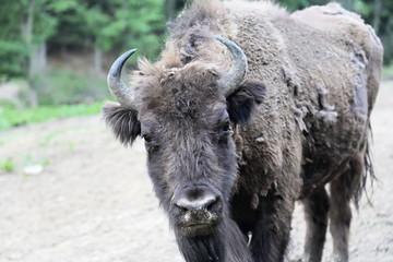 Close up of European Bison (Bison bonasus) in Bieszczady National Park, Poland