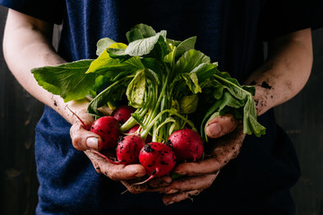 Organic fresh harvested vegetables. Farmer's hands holding fresh radish, closeup Wall mural