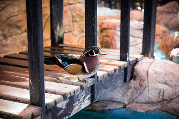Colorful duck in Emirates Park Zoo, UAE