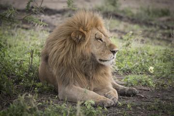 Proud Resting Male Lion