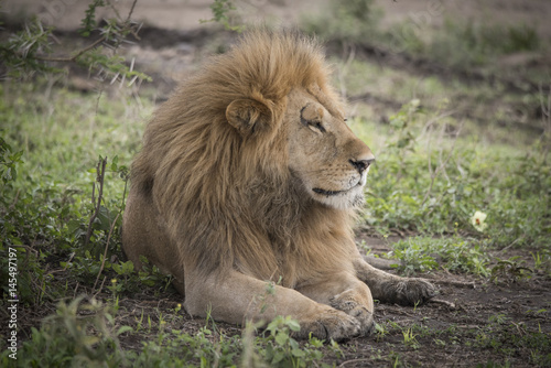 Proud Resting Male Lion
