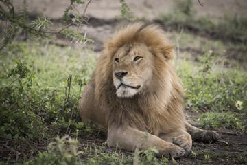 Proud Resting Male Lion, Serengeti