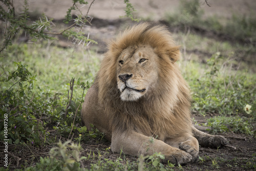 Proud Resting Male Lion, Serengeti