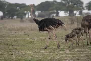 Ostrich Family, Tarangire