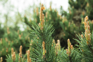 Closeup picture of pine tree branch