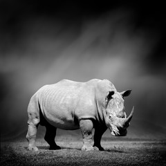 Black and white image of a rhino