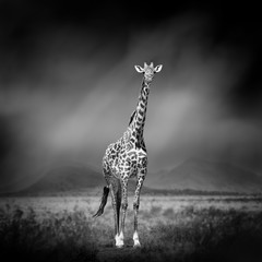 Black and white image of a giraffe