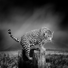 In de dag Luipaard Black and white image of a leopard