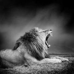 Foto auf Leinwand Löwe Black and white image of a lion