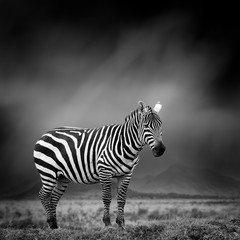 Foto op Canvas Zebra Black and white image of a zebra