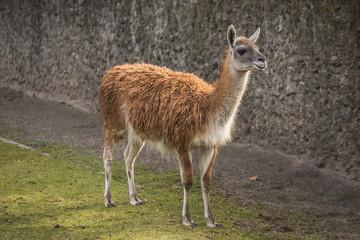 Cute lama at zoo in Berlin