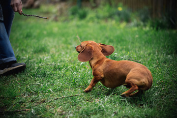 Dachshund dog in outdoor. Beautiful Dachshund playing with man on the green grass. Standard smooth-haired dachshund in the nature. Cute little dog on nature background.