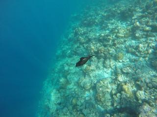 Black Fish in the Maldives