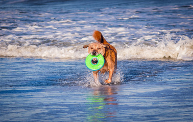 Dog Fetches On The Beach
