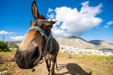 Curious donkey with funny looking a sunny spring day at Santorini, Greece.