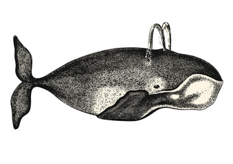 vintage animal engraving / drawing: whale - vector design element