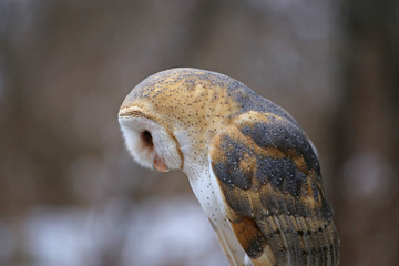 Fotoväggar - A close-up of a Barn Owl (Tyto alba) looking down..