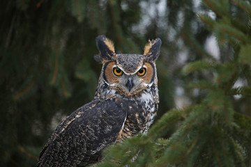 Fotoväggar - A close-up of a Great Horned Owl (Bubo virginianus) looking at the camera..