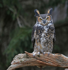 A close-up of a Great Horned Owl (Bubo virginianus) looking at the camera..