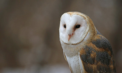 Fotoväggar - A close-up of a Barn Owl (Tyto alba) looking at the camera..