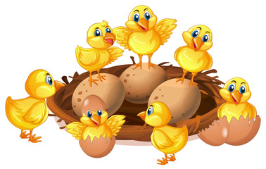 Many chicks and eggs in nest