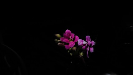 Kalanchoe in the dark