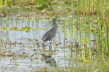 Black Egret, Egretta ardesiaca, fishing in water