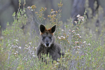 Black or Swamp Wallaby surrounded by wildflowers