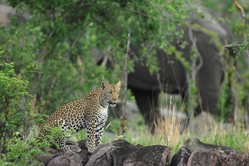 Female leopard on rocks with elephant in background