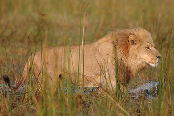 Male Lion walking in water hunting buffalo