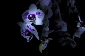 Orchids in dark