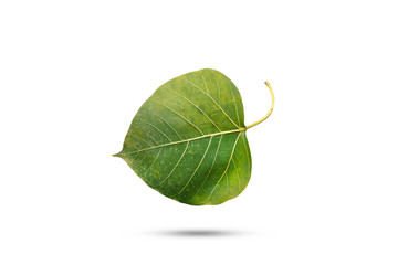 Old green Bodhi leaf on isolated white background