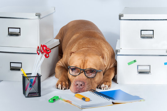 Work. The dog is a pitbull with glasses among folders and office. The concept of the working environment. Business.