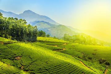 Tea plantations in Munnar, Kerala, India. Wall mural