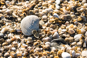 Closeup of a scallop shell on top of a bed of assorted smaller shells from a Florida beach
