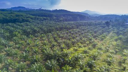 Oil palm plantation