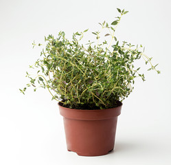 Thyme in flowerpot on white background. Plant in flowerpot