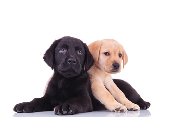 yellow little labrador retriever lying on top of black puppy