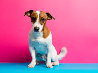 photo of cute jack russel terrier on the wonderful pink studio background