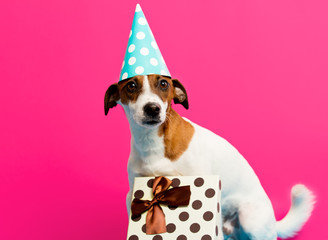photo of cute jack russel terrier in Birthday hat near gift on the wonderful pink studio background