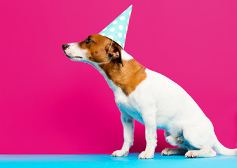 photo of cute jack russel terrier in Birthday hat on the wonderful pink studio background