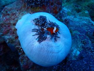 インド洋のおやすみ中のイソギンチャク