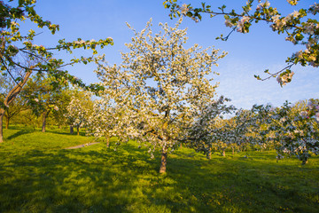 Flowering trees on Petrin hill, spring in Prague, Czech Republic, Europe