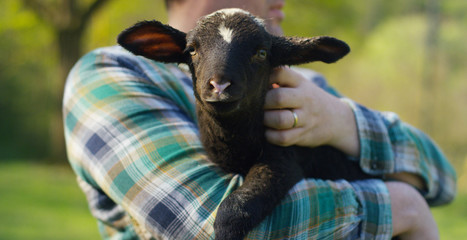 A young farmer, holding a black lamb young cub, has the experience to follow and care for live animals, on the background of nature and a barn, concept: ecology, livestock, bio, farming, macro.