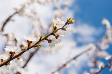 Beautiful gentle flowering tree in the garden. Apple-tree color. April flowering branches of a fruit garden. Buds on a tree branch. The first spring flowering of the garden.